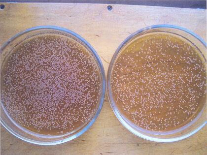Бактериальные колонии в чашках петри